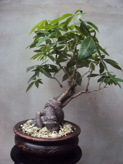 Pachira Aquatica (money tree bonsai) Care Guide | Greenery ...