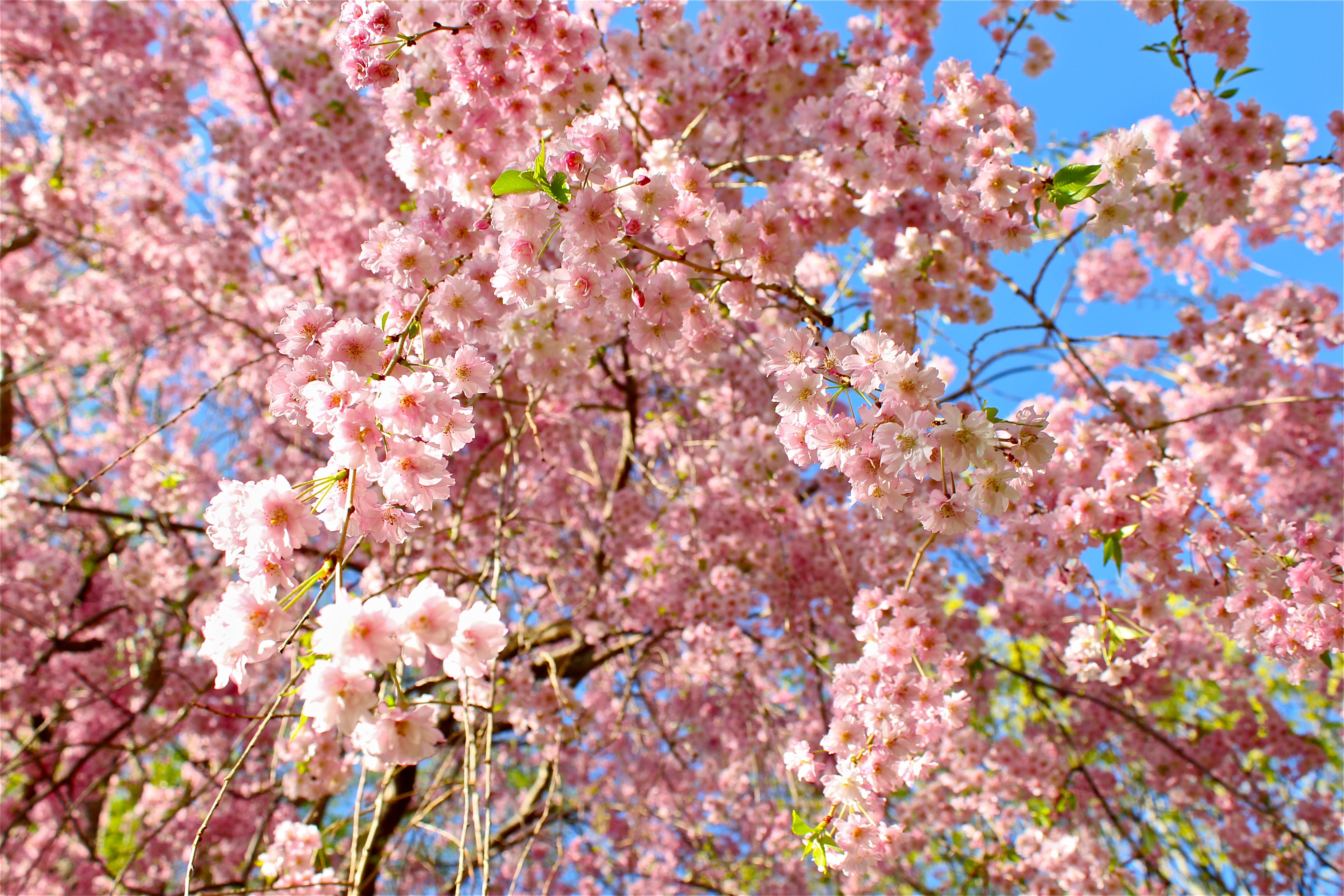 The Cherry Blossom Tree In My Yard Only Blooms For About A Month But It S Beauuuutiful Cherry Blossom Tree Blossom Trees Landscape
