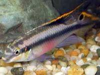 Pelvicachromis Pulcher Kribensis Cichlids Tropical Fish Aquarium Tropical Freshwater Fish
