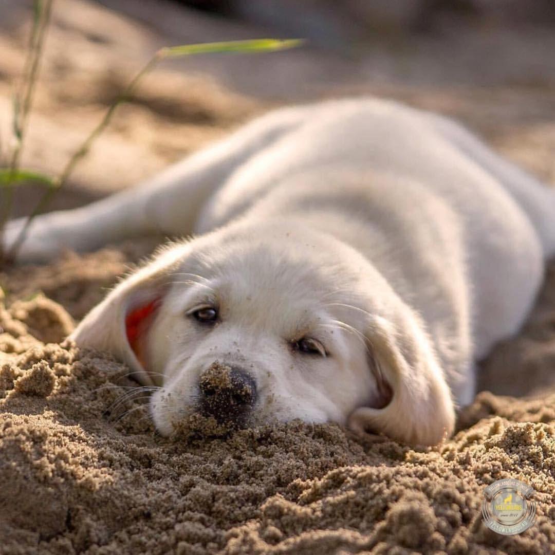 Lab Love Image By 4myboys21 Labrador Dog Labrador Funny Labrador Retriever