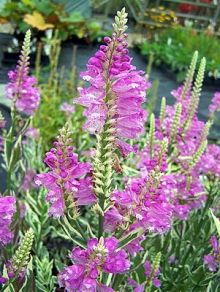 Find This Pin And More On Graceful Gardens Perennial Flowers