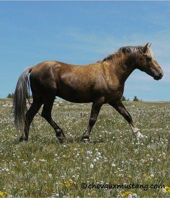Site Officiel Des Chevaux Mustangs Chevaux Mustang Mustang Cheval Chevaux Mustang Sauvage Mustangs Sauvages