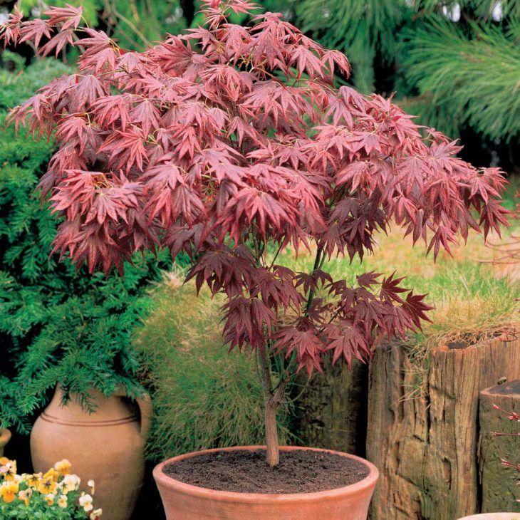 acero giapponese pianta sempreverde da balcone | Piante da terrazzo ...