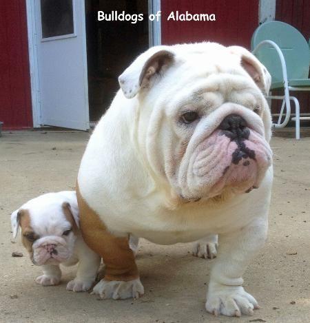 Pin By Tina Harrison On Bulldogs Of Alabama English Bulldog