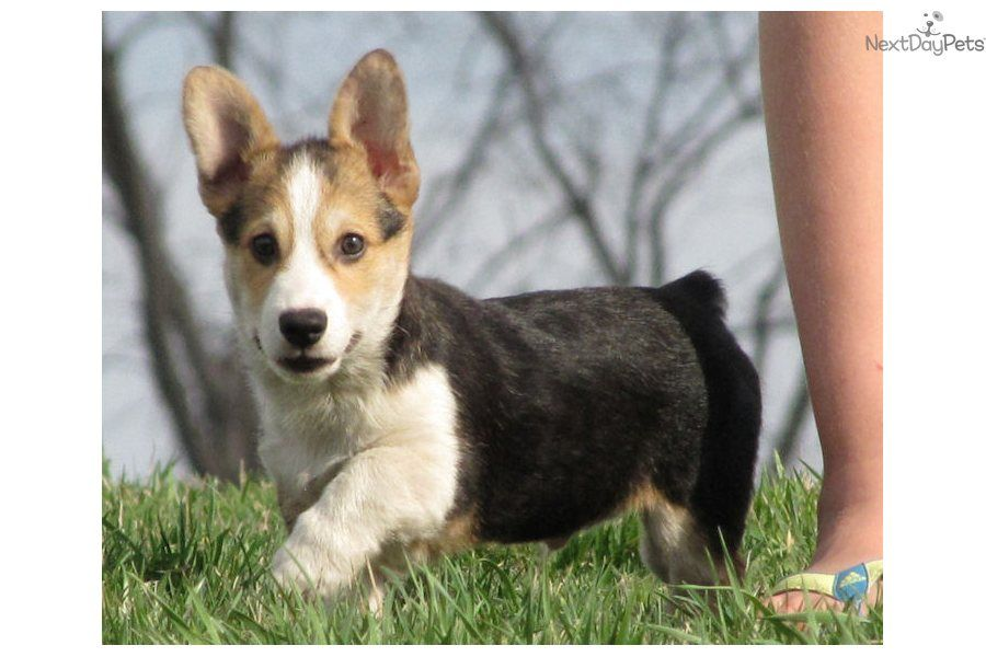 Welsh Corgi, Pembroke puppie I want him soooo bad.