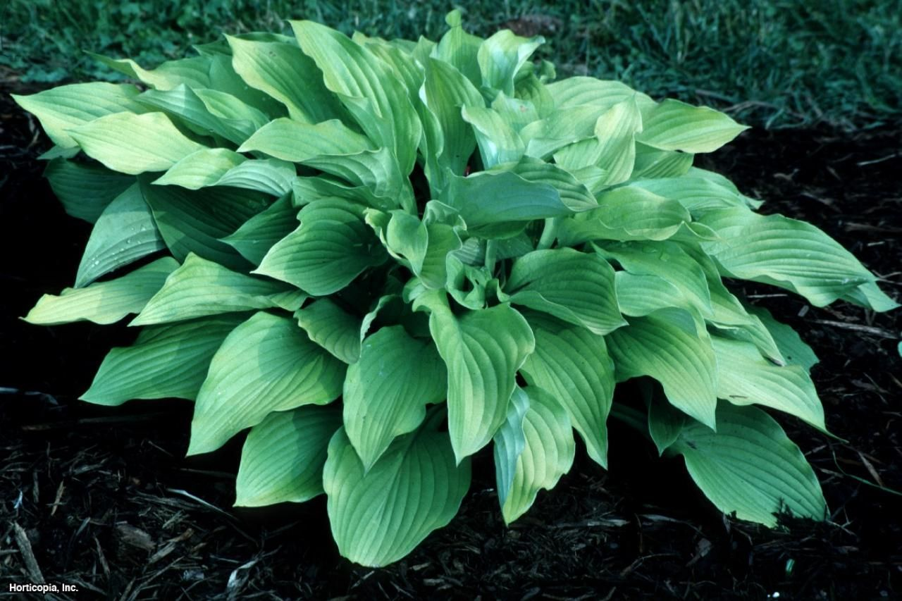Photo of Hosta. Make sure you get the sun loving kind because many of them are meant for …