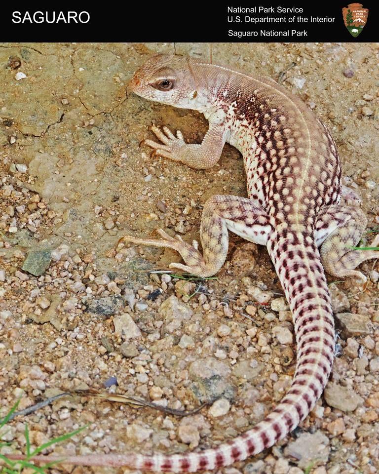 Typhlonectes Iguana Desert Animals Cute Lizard