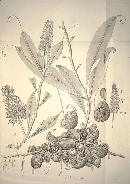 Scientific Illustration Botanical Illustration Illustration Scientific Illustration