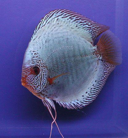 Solid X Snake Skin Discus Fish Freshwater Aquarium Fish Aquarium Fish