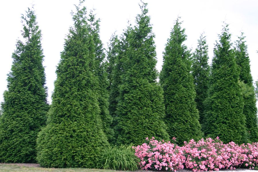 Pin By Laura Malcarney On Landscape Fast Growing Hedge Plants Thuja Green Giant Green Giant Arborvitae