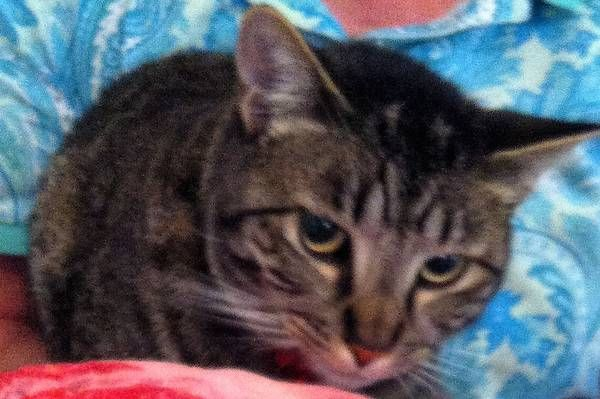 favorite this post MISSING MALE tabby CAT VERY SHY (West