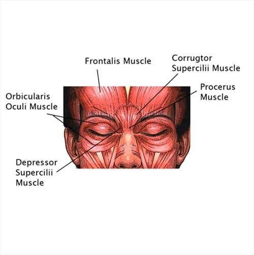 Eyebrow muscles diagram wiring diagram portal depressor supercilii google search anatomy face pinterest rh pinterest co uk eyebrow shape diagram eyebrow shape for your face ccuart Choice Image