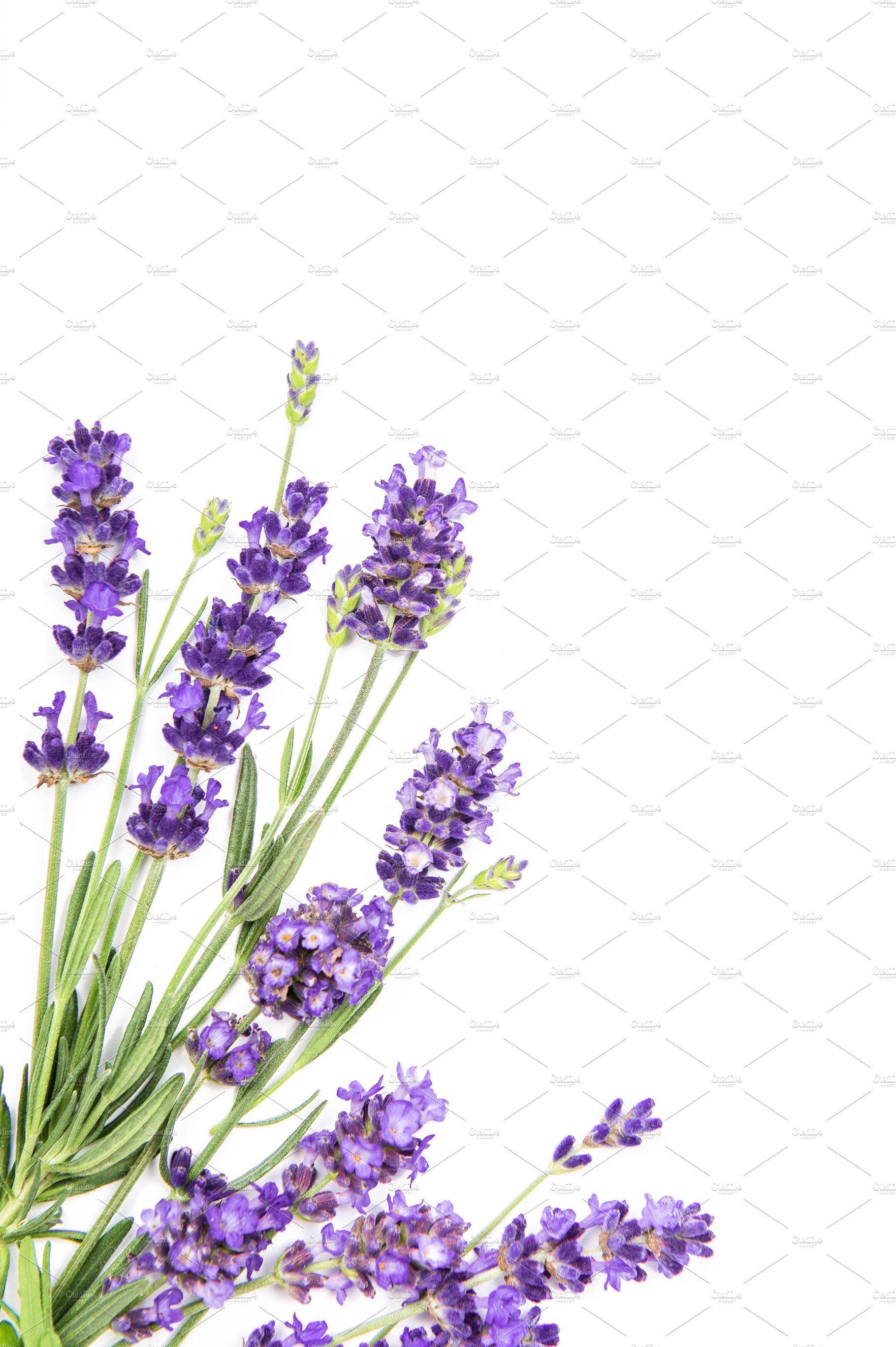 Lavender Flowers White Background In 2020 Lavender Flowers White Background Flower Wallpaper
