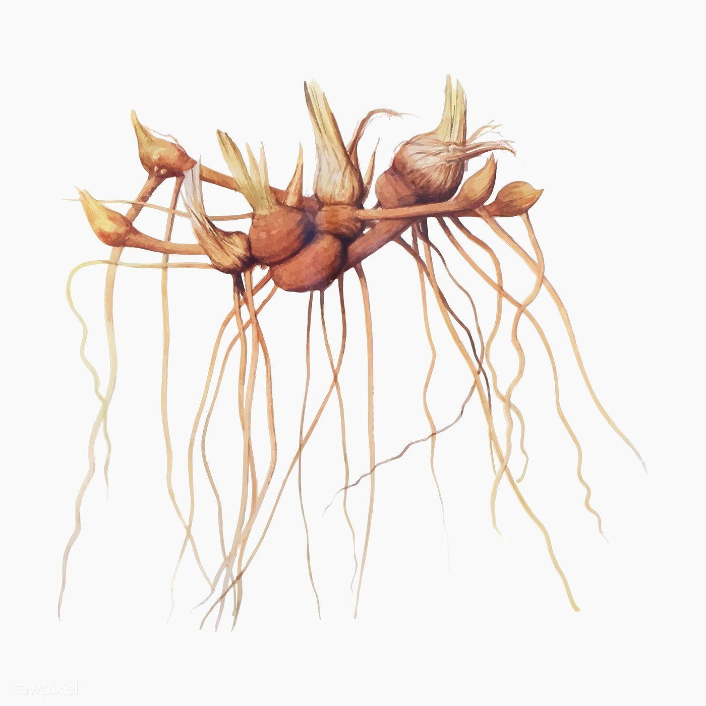Download Premium Vector Of Vintage Iris Flower Root Illustration Vector In 2020 Iris Flowers Roots Illustration Botany Illustration