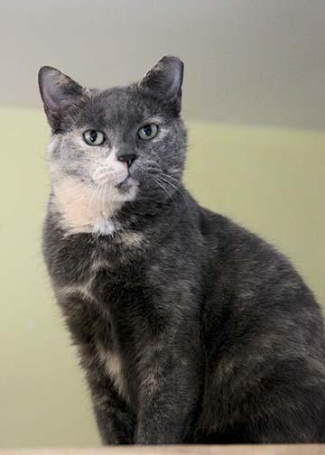 Adopt Sheila On Kitten Adoption Cat Adoption Cats And Kittens