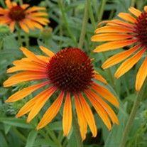 Photo of Online Garden Plants Center – Perennials & Annuals. Petunia Coneflower Flowers
