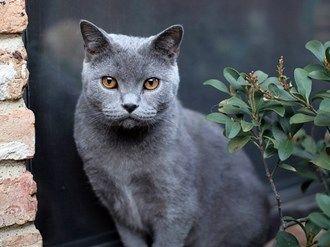 British Shorthair Cat Breed Information Kitten Breeds British Blue Cat British Shorthair Cats