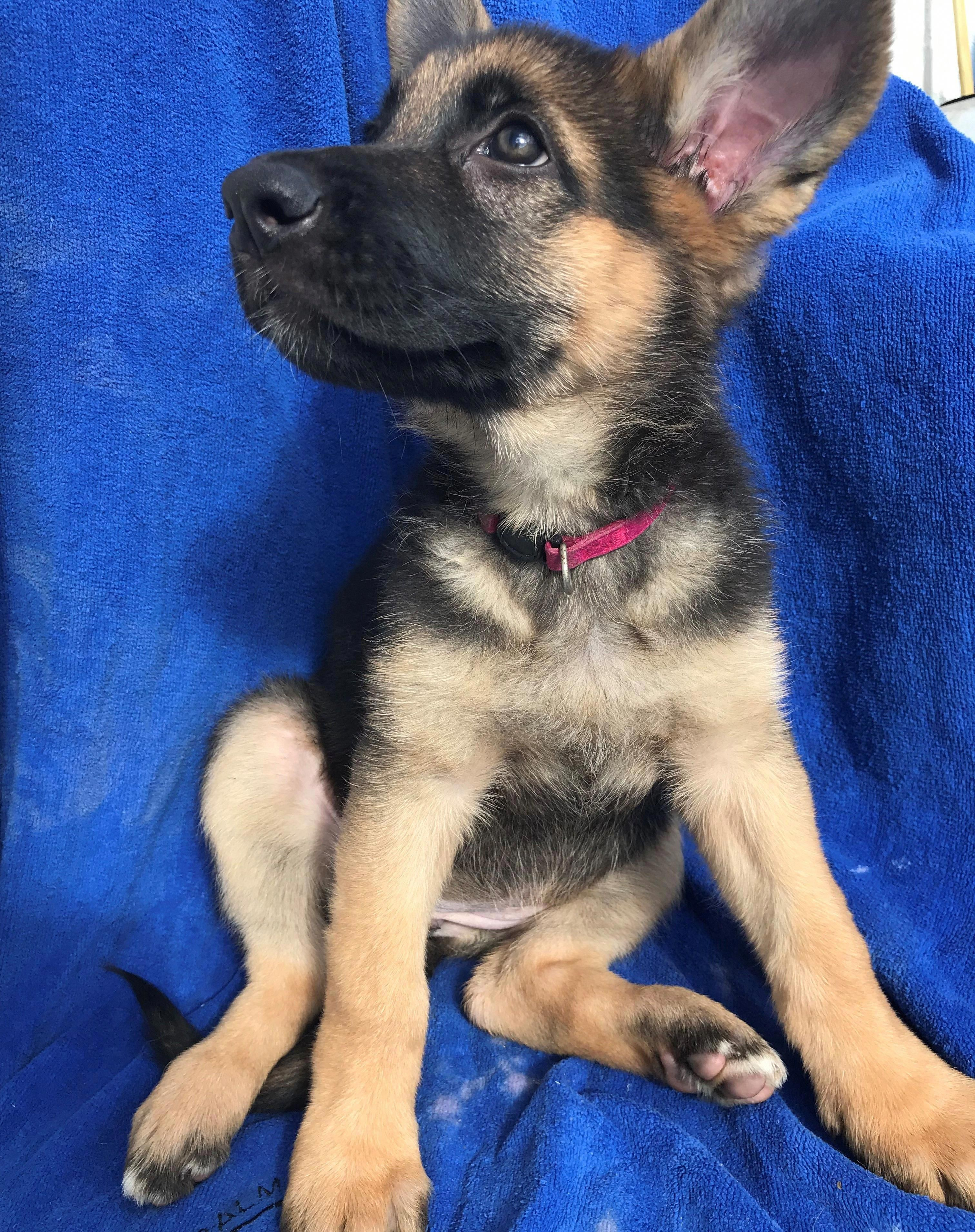 Receive Fantastic Ideas On German Shepherds They Are Available For You On Our Website Cute German Shepherd Puppies Puppies