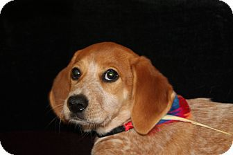 Sissypittsburgh Pa Beagle Mix Meet Sissy A Puppy For