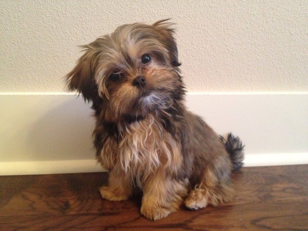 Top 17 Tips For Future Shorkie Owners Shorkie Puppies Shorkie