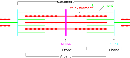Sarcomere Diagram Physiology Diagram Band