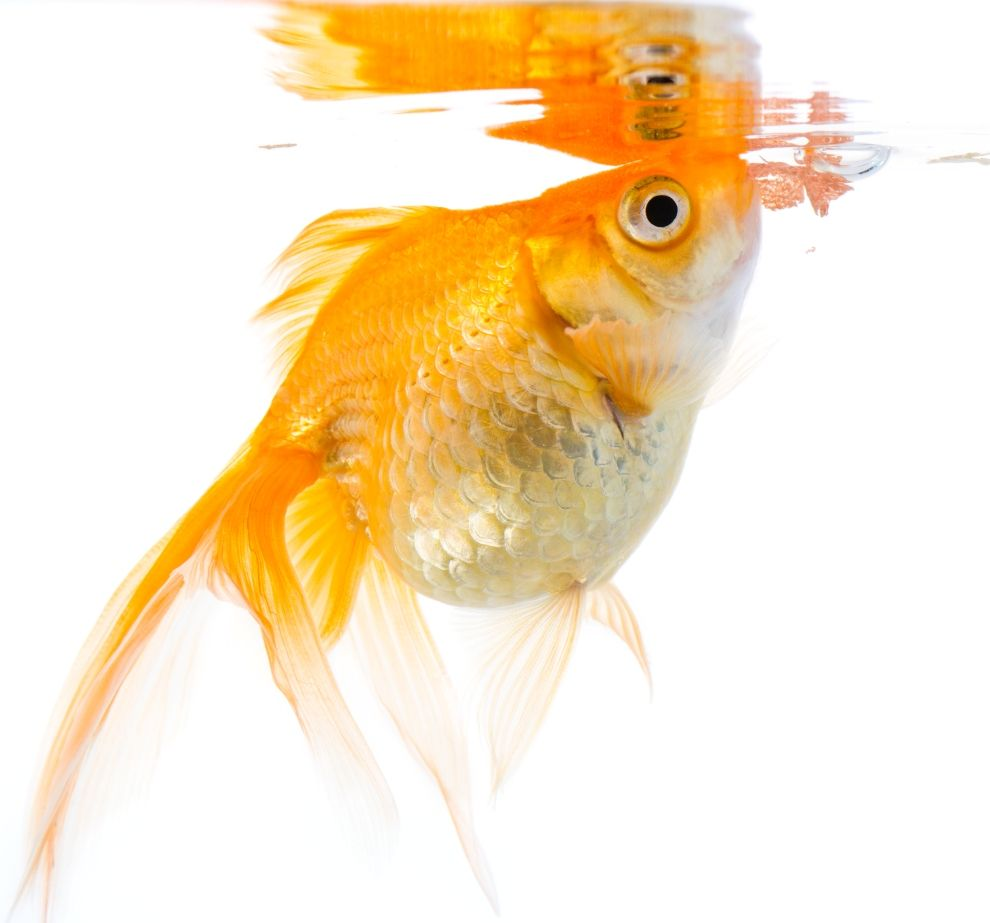 Even the best fish food can get tiring fish pet care for Best food for betta fish