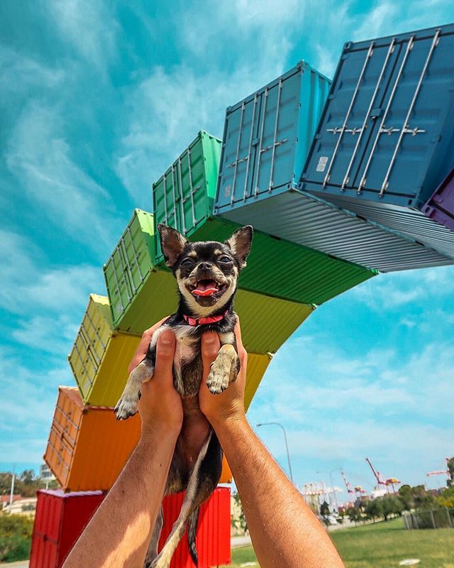 Taking Our Chihuahua Puppy Out And About In Perth The Fremantle