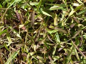 What Kills Crabgrass Two Methods That Worked For Us Crab Grass