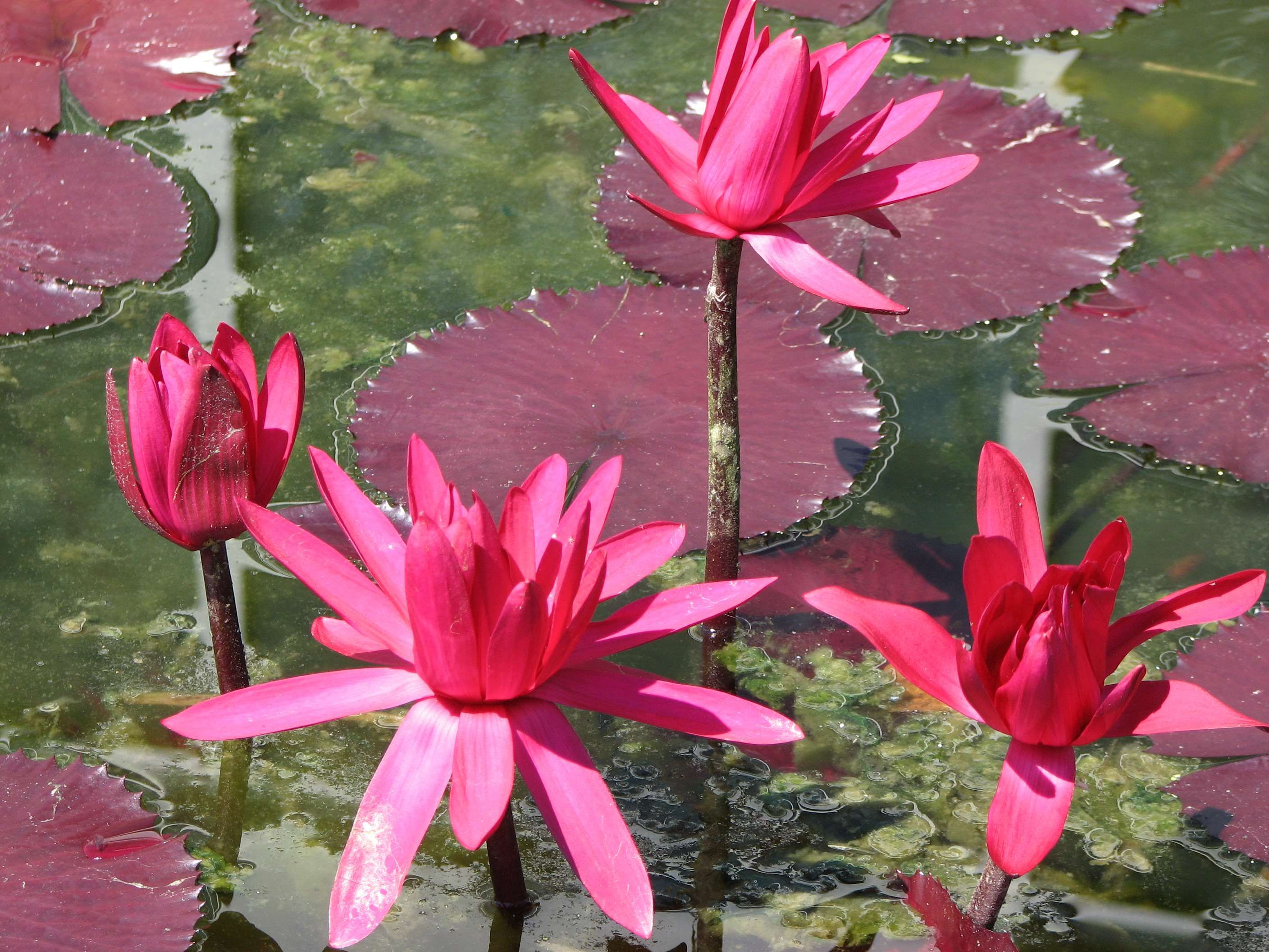 Blooming Flora Floral Flowers Lillies Lily Pads Pink Pink