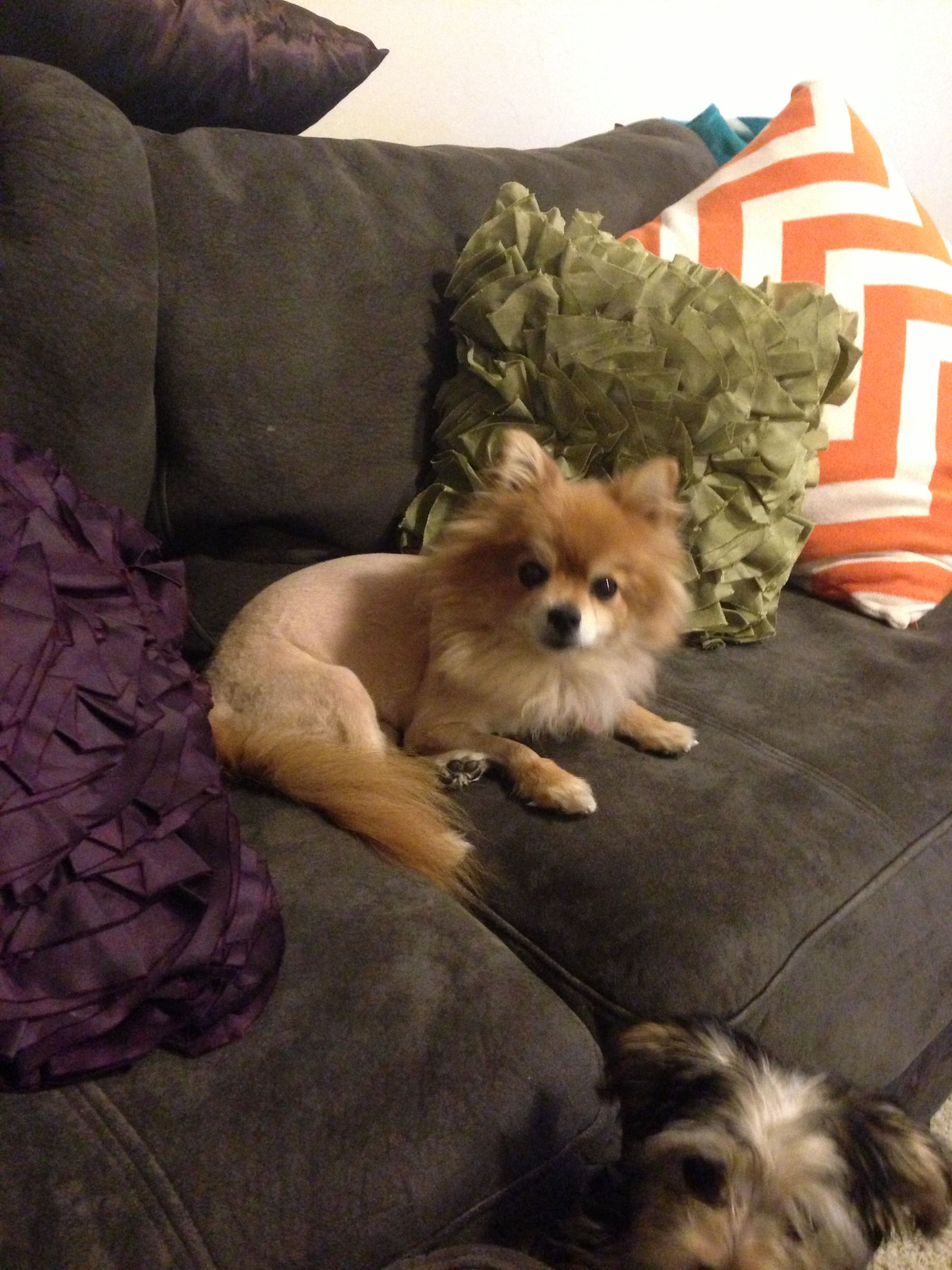 Pin On Pomeranian Haircut