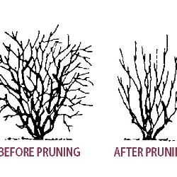 31+ When do you prune blueberry bushes ideas in 2021