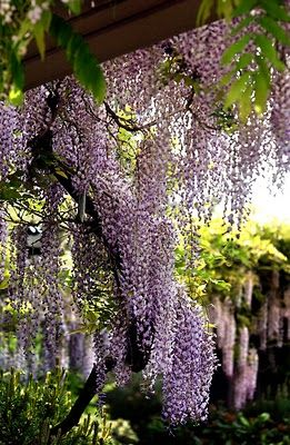 wisteria. purple. growing on a pergola or garden entrance