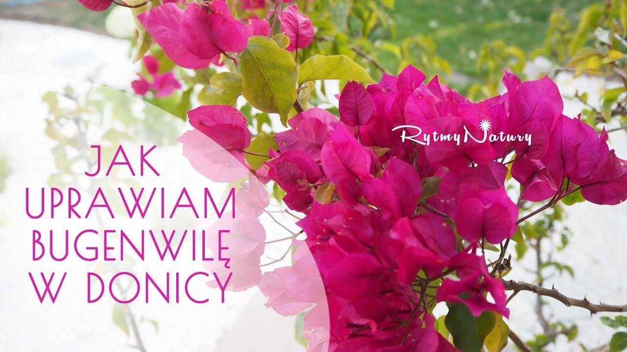 Jak Uprawiac Bugenwille W Donicy Aby Zakwitla Bugenwilla Kwiaty Kwiat Taras Balkon Ogrod Flower Flowers Garden Gardening Natura Nature Rytmynatury Plants