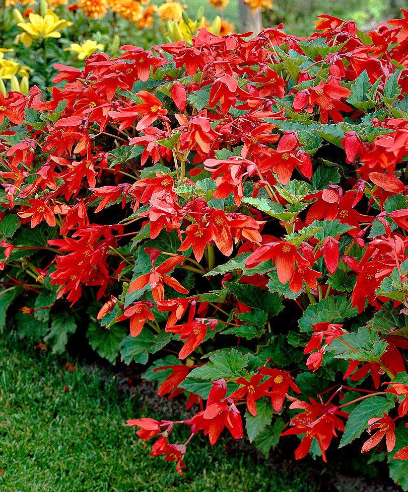 Boerenbegonia Bloembollen Bakker Hillegom Bulb Flowers Begonia Longfield Gardens