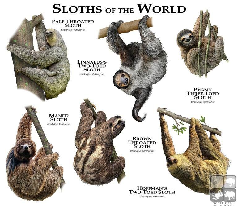 Perezosos del Mundo | Mamíferos I | Pinterest | Animales, El mundo y ...