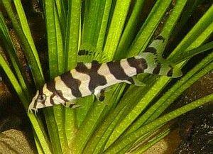 Botia Histronica Black White Yoyo Loach Tropical Fish Fresh Water Fish Tank Tropical Fish Tanks