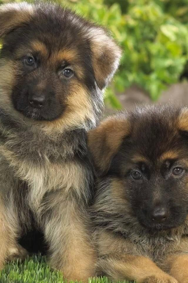 Look At The Puppies Shepherd Puppies Are So Cute German