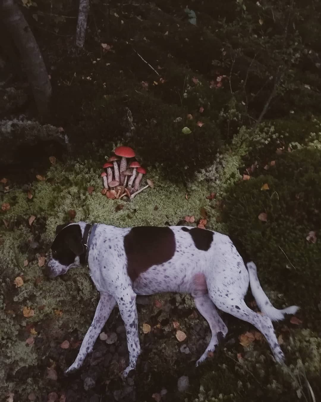 - Не то вы снимаете, женщина, какие грибы, когда такой красавец вам позирует..  #собака #природа #пейзаж #путешествие #мобильнаяфотография #грибы #dog #dogsofinstagram #instadog #walking #summer #travel #vladimirregion #guskhrustalny #petstagram #puppylove #pet #dogstagram #forest #mobilephotography #landscape #mood #nature #pointer #pointeroftheday #dogportrait #englishpointer
