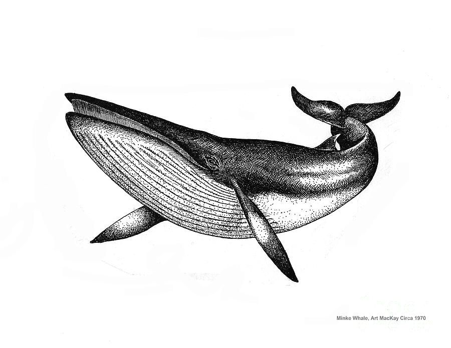 Minke Whale Vintage Drawing Is A Drawing By Art Mackay Which Was Uploaded On March 4th 2017 The Drawing Whale Drawing Blue Whale Drawing Whale Illustration
