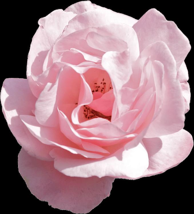 Explore Flower aesthetic, Pink flower crown, Transparent