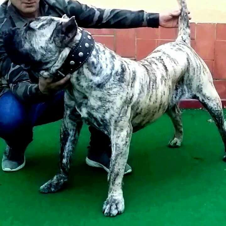 Presa Canario Dogs Mastiff Dogs Big Dogs Mastiff Breeds