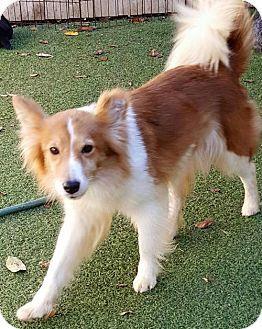 Evansville In Border Collie Sheltie Shetland Sheepdog Mix Meet Ginny Of Martinsville A Dog For Adoption Dog Adoption Border Collie Pets
