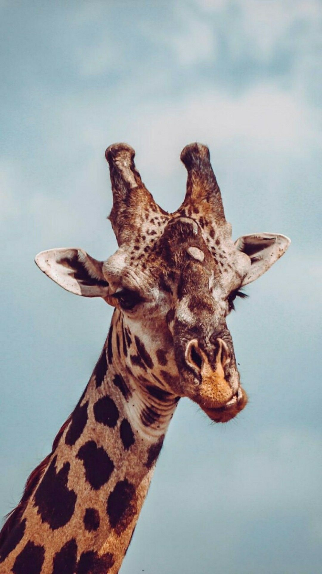 Giraffe Animal Wallpaper Animals Beautiful Cute Animals