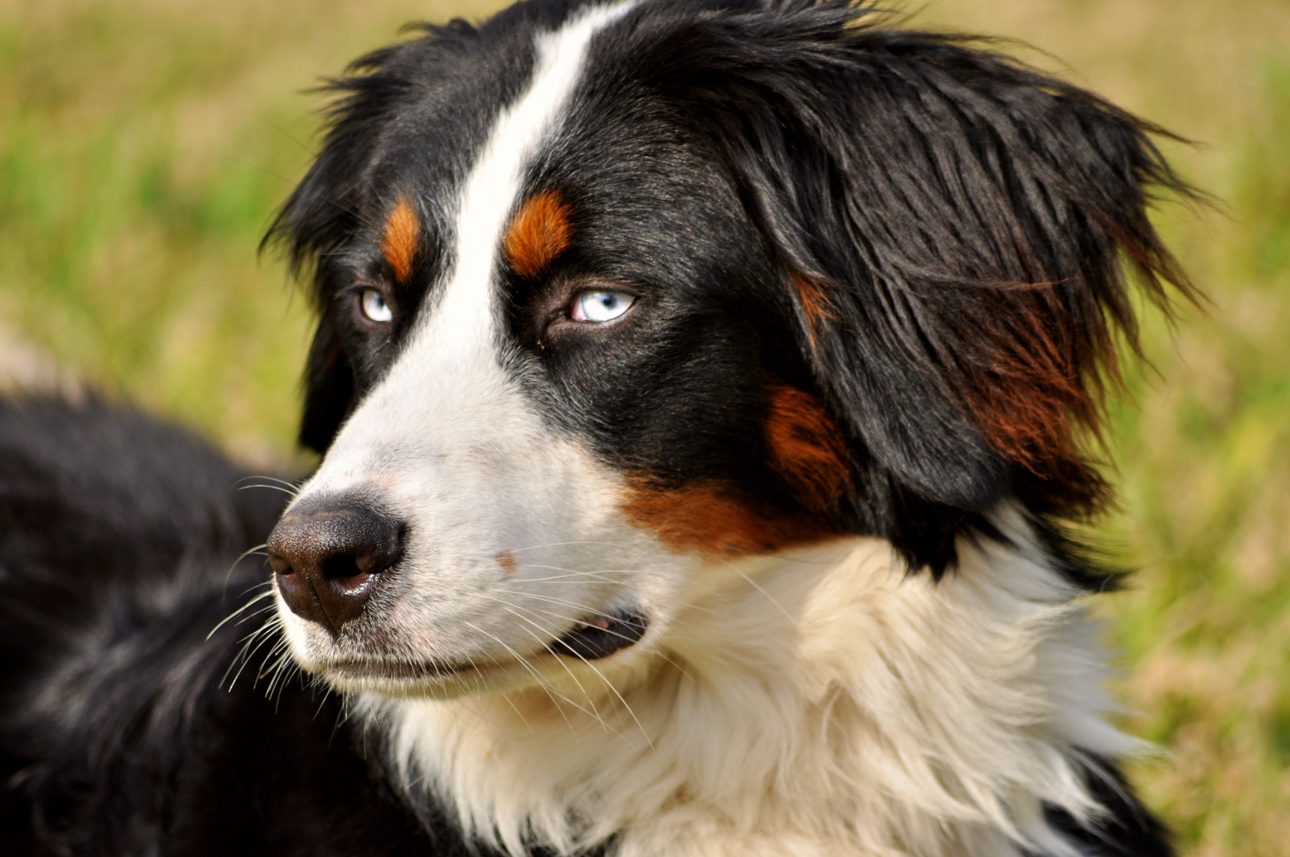 She Is An Bernese Mountain Dog Is A Type Of Dog Originating