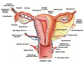 Medical And Health Science Anatomy Of Female Reproductive System Female Reproductive System Anatomy Reproductive System Female Reproductive System