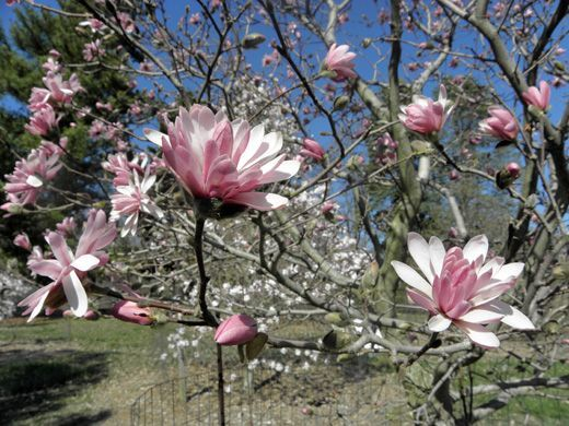 15 Types Of Magnolia Trees And Shrubs With Photos Magnolia