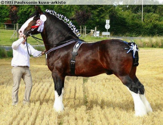 Shire - stallion Leverton Statesman