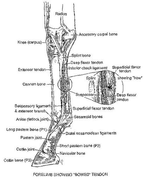 Anatomy Showing A Horse Bowed Tendon
