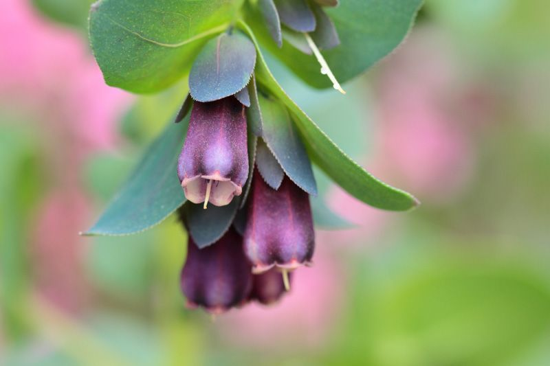 Noted for its handsome foliage and colorful bracts Cerinthe major Purpurascensbracts