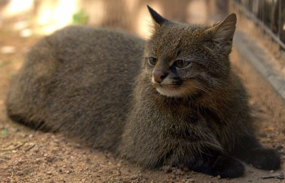 10 Rare and Beautiful Species of Wild Cat - We Love Cats and Kittens